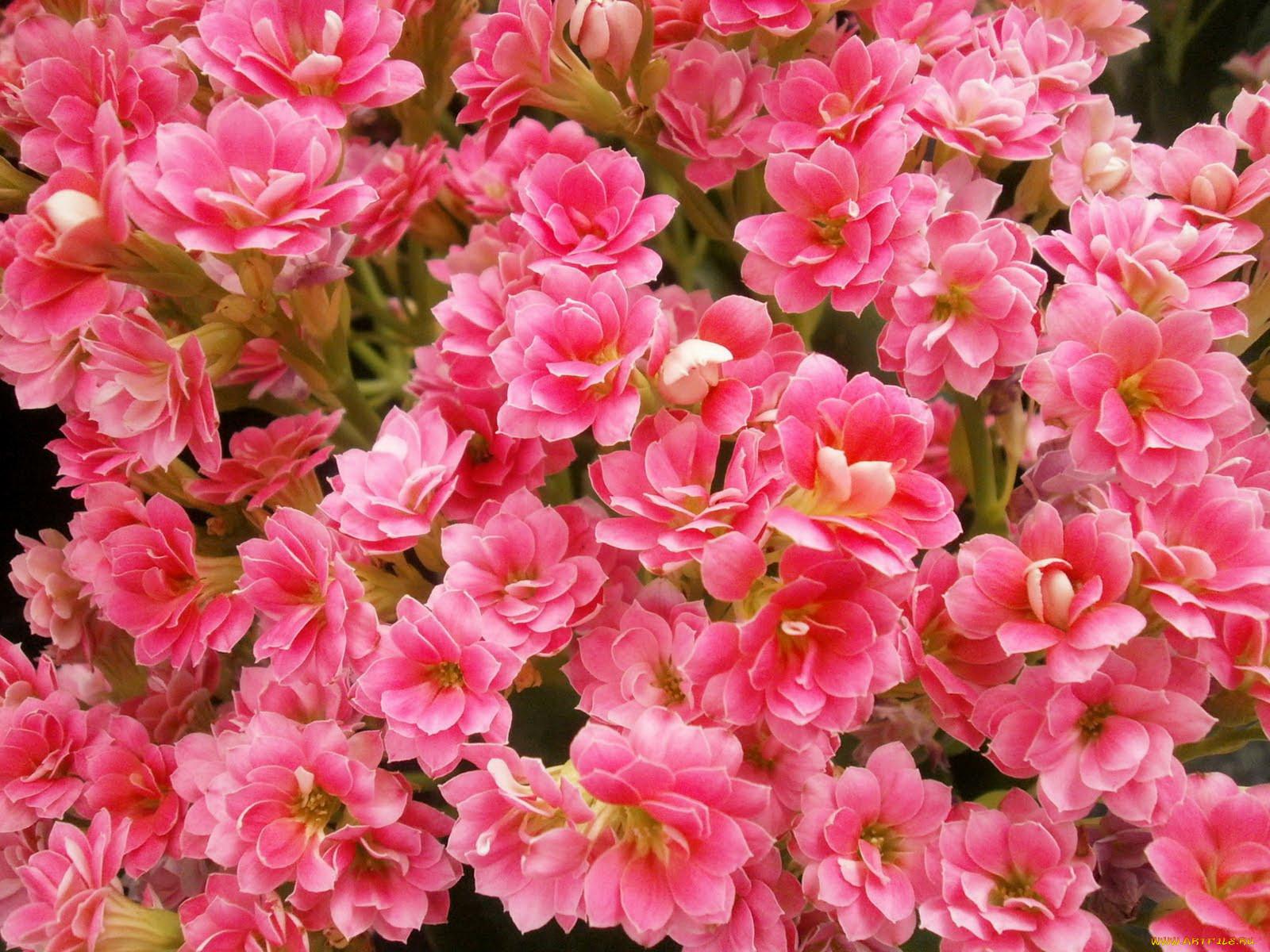Список комнатных цветов с картинками 6